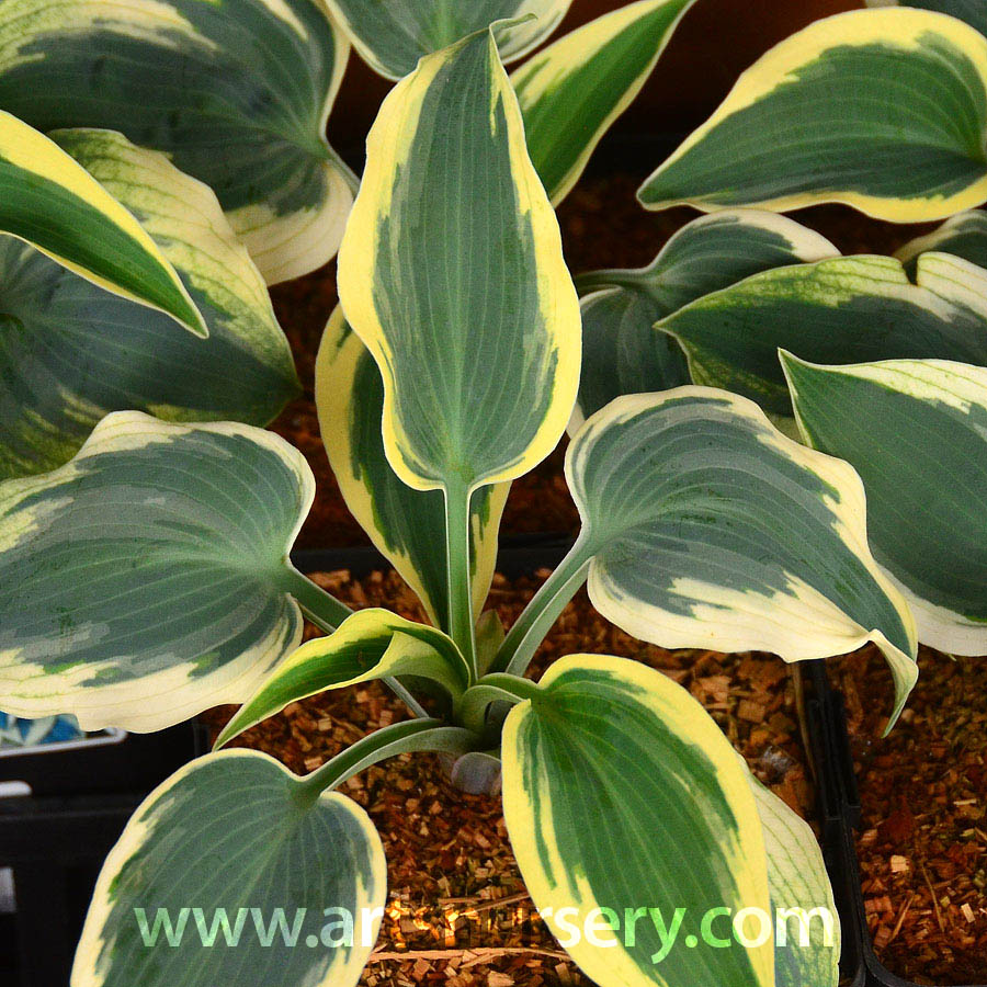 hosta_blueivory.jpg