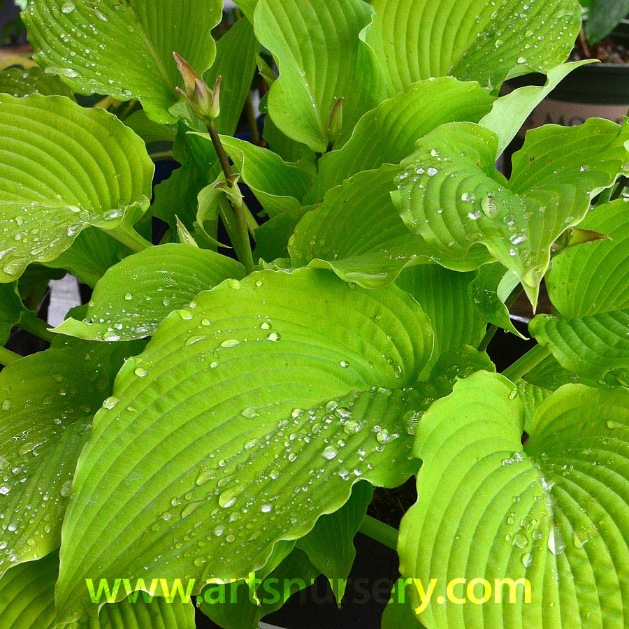 Hosta 'Green Pie Crust'