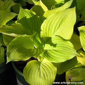 Hosta 'Hottsy Tottsy'
