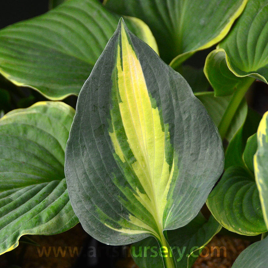 Hosta 'Lakeside Cupcake'