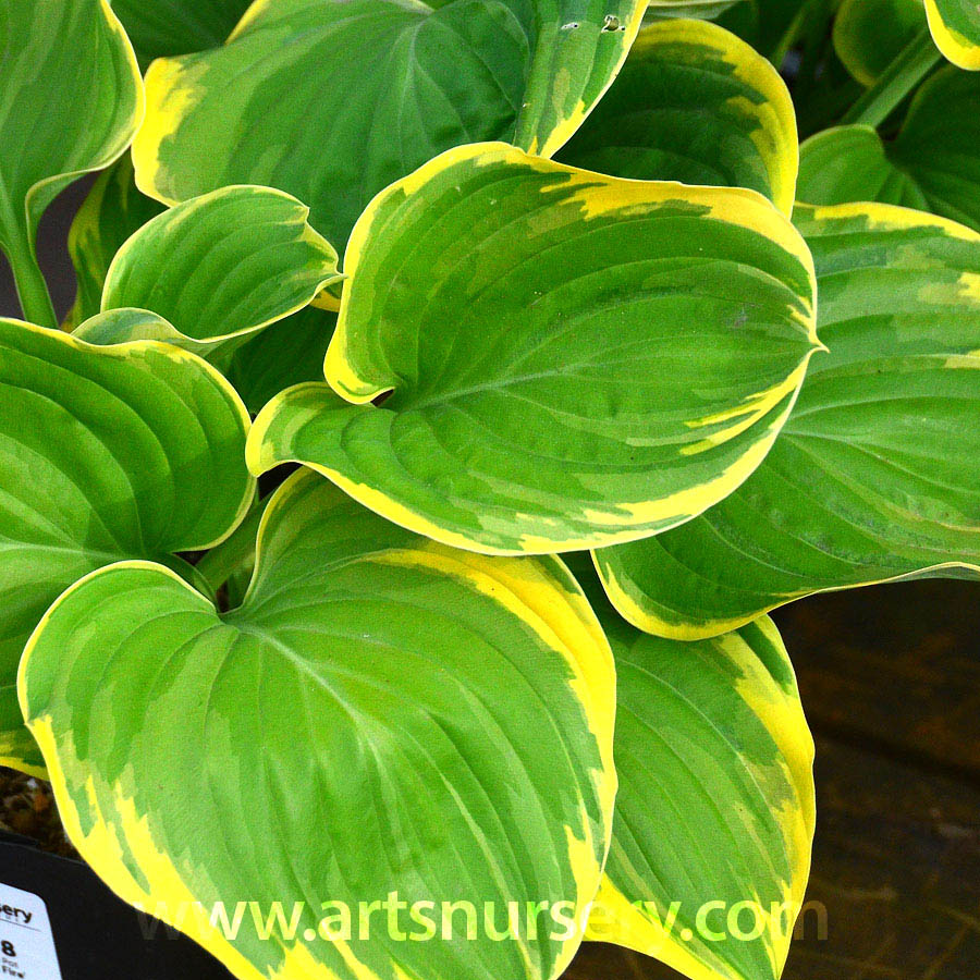 Hosta 'Magic Fire'