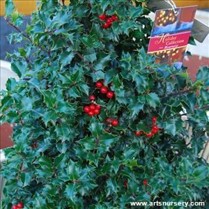 Ilex x 'Red Beauty'