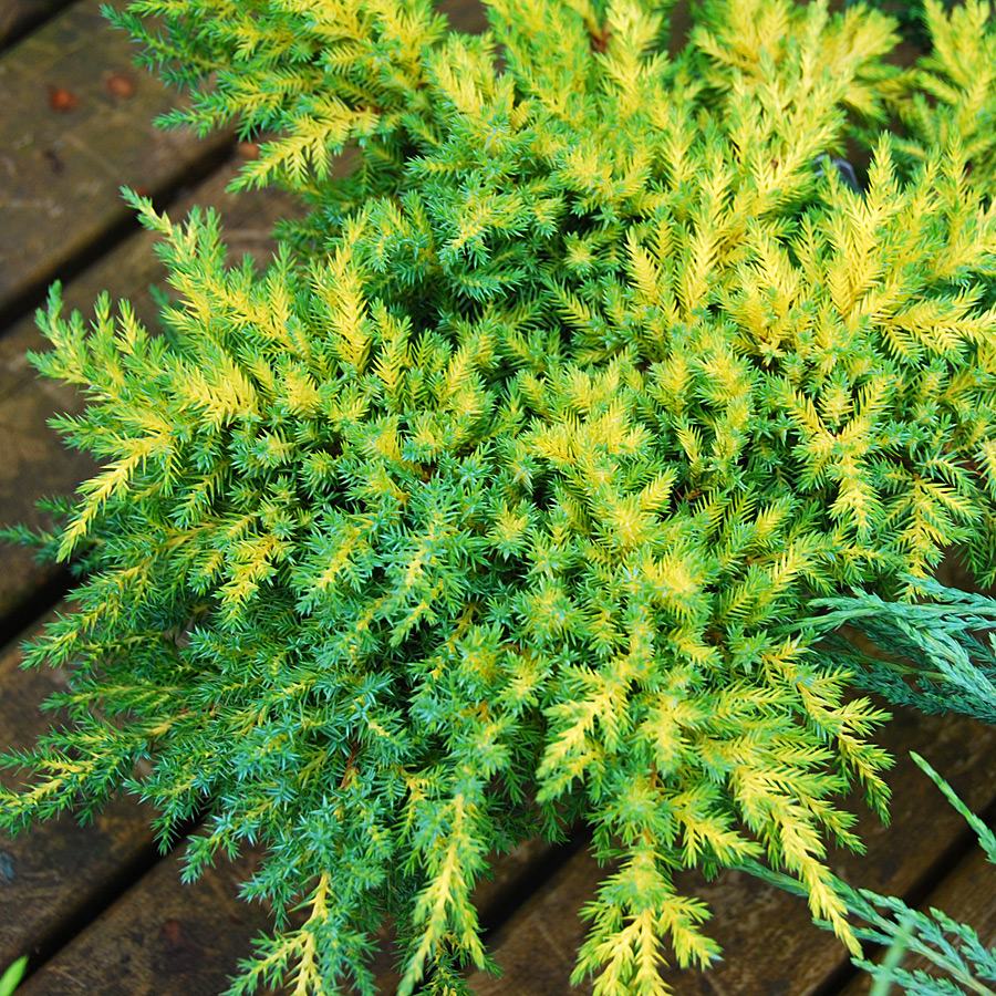 Juniperus chinensis 'Daubs Frosted'