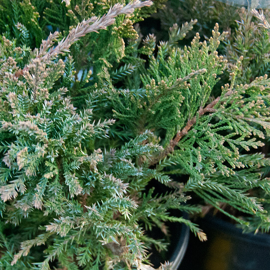 Juniperus chinensis 'Sea Green'