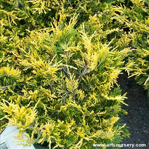 Juniperus x pfitzeriana 'Sea of Gold'