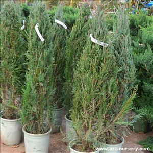 Juniperus v 'Blue Arrow'