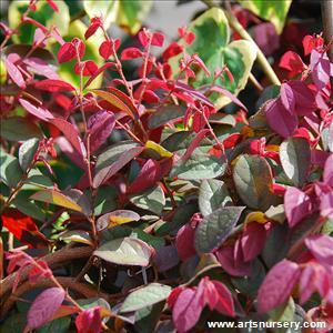 Loropetalum chinensis sizzling pink mightylinksfo