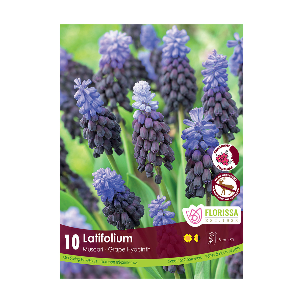 Muscari 'Latifolium' Bulbs 10Pk