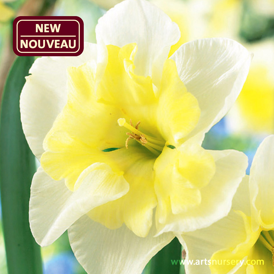 Narcissus 'Smiling Twin'