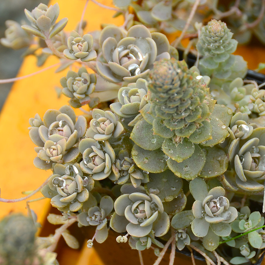 Orostachys 'Chinese Dunce Cap'