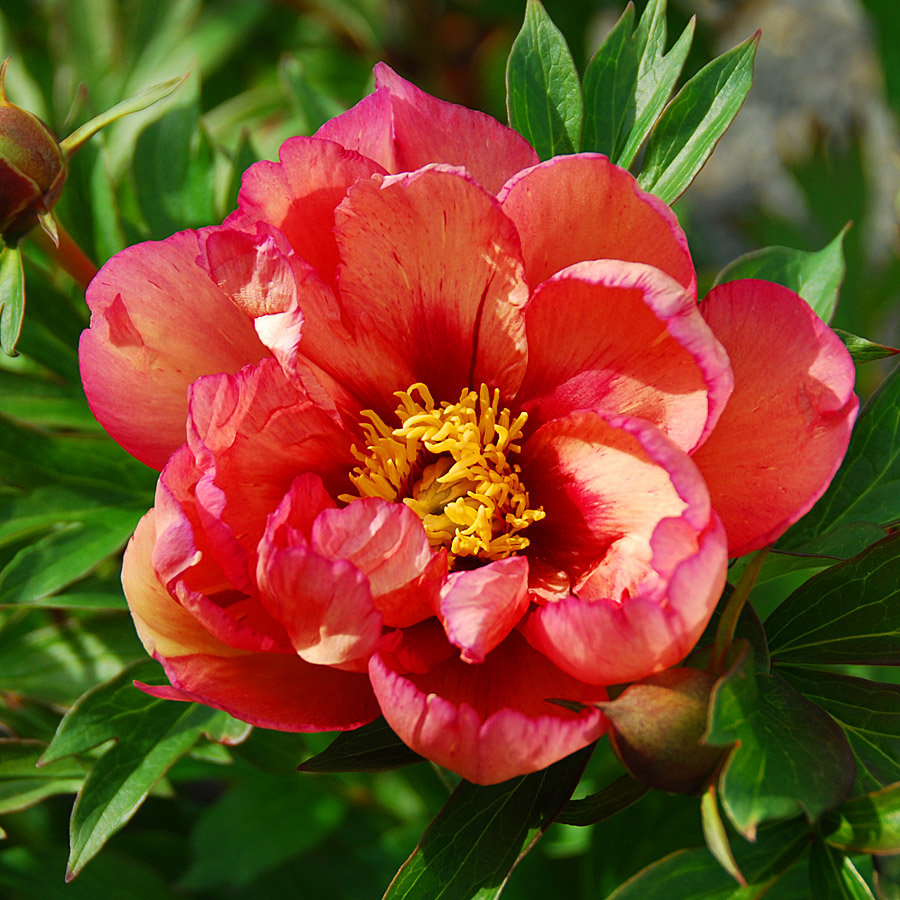 Paeonia Itoh Kopper Kettle