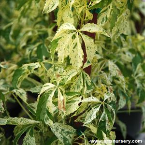 Parthenocissus quinquefolia 'Star Showers'