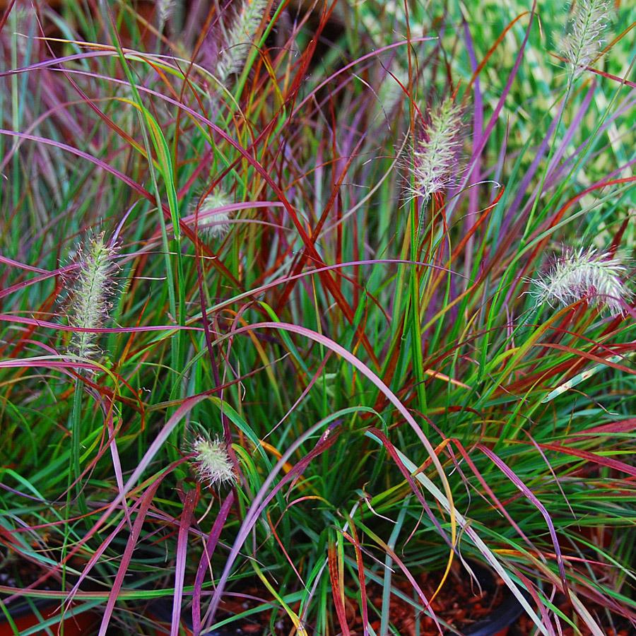 Pennisetum alopecuroides 39 burgundy bunny 39 for Ornamental fountain grass