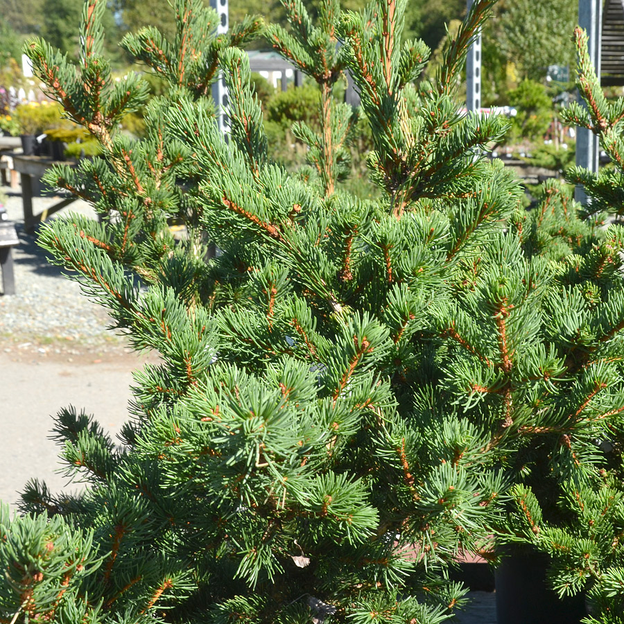 Picea abies 'Lombarts'