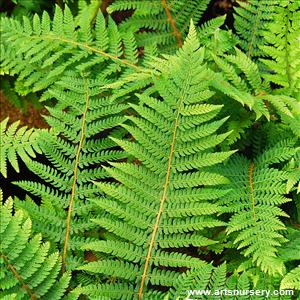 Polystichum proliferum
