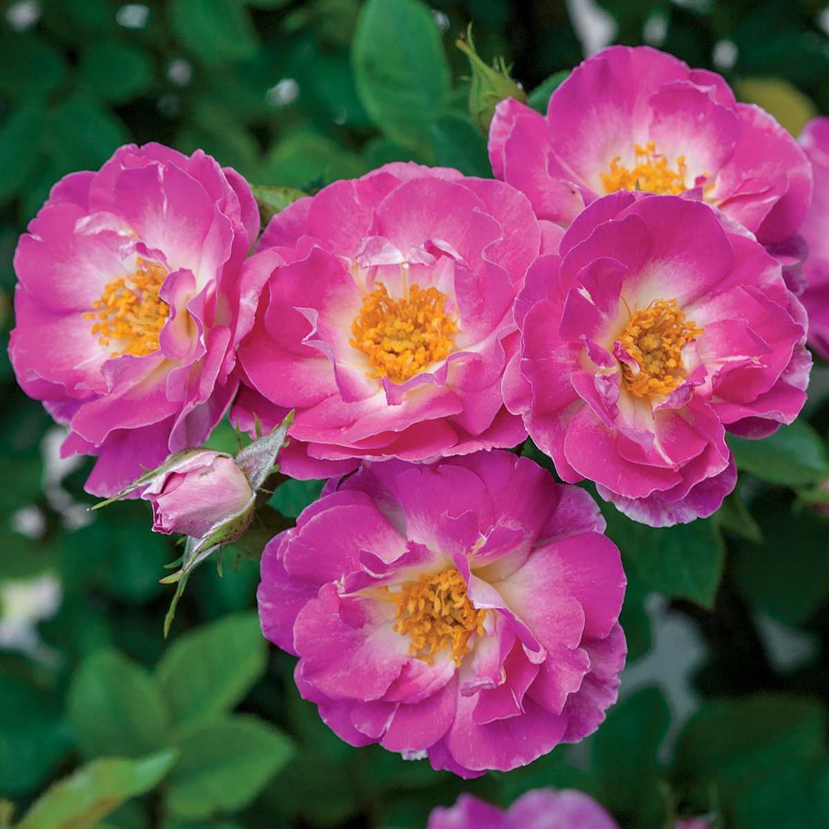 Rosa 'Cupid's Kisses'