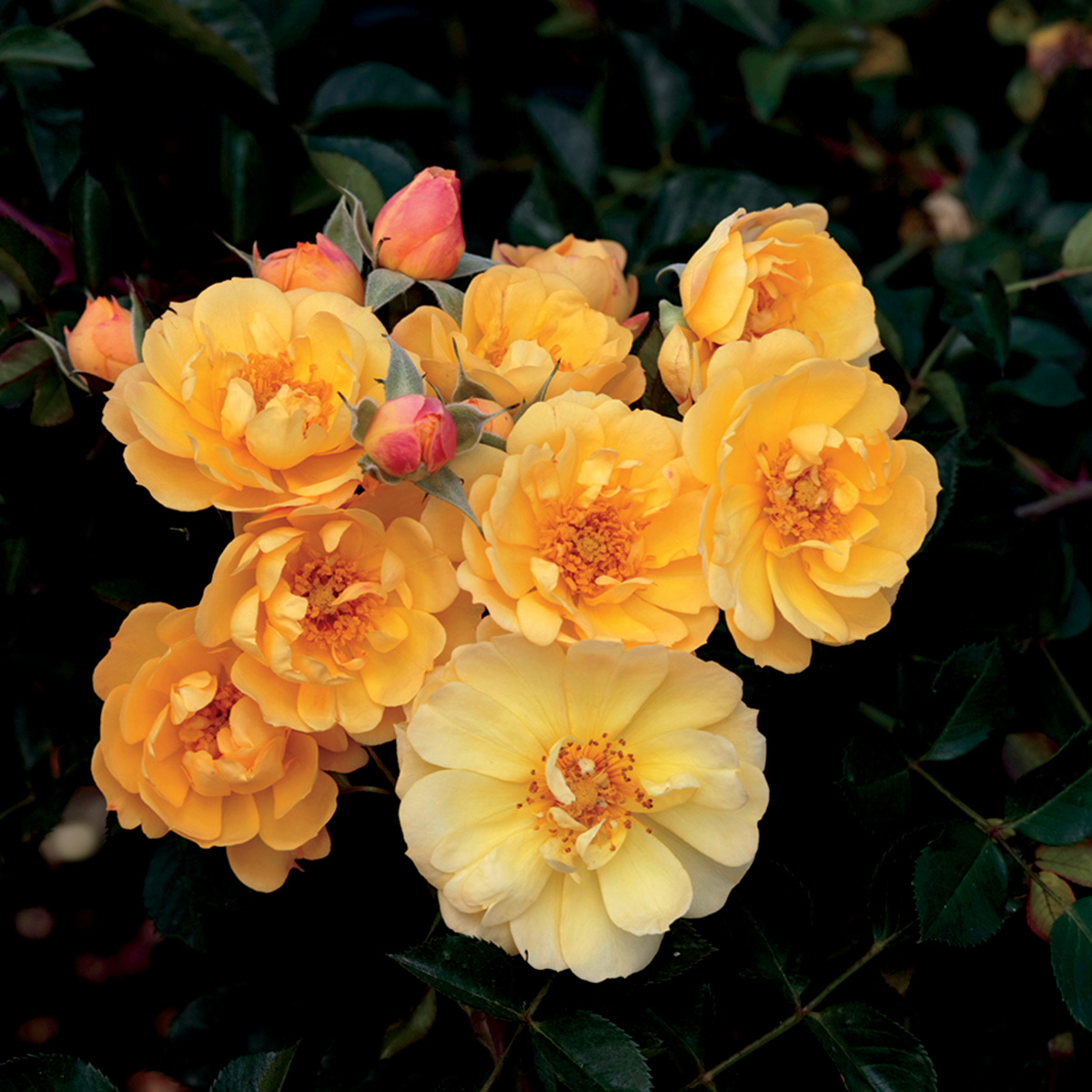 Rosa 'Sunshine Happy Trails'