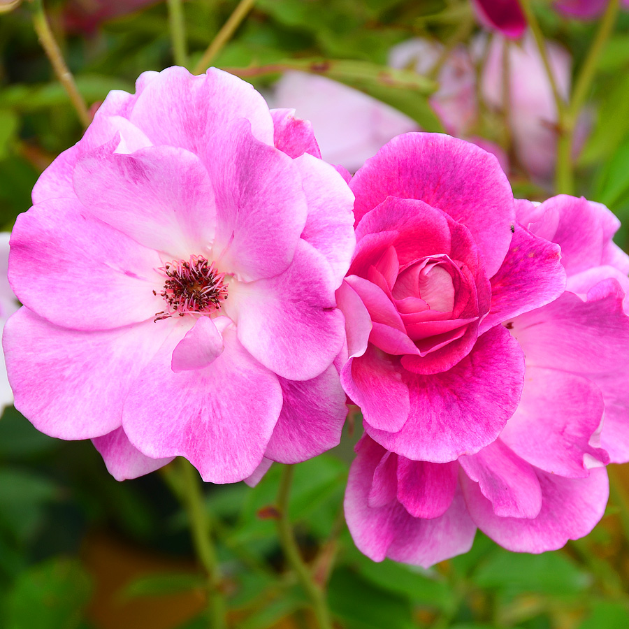 Rosa 'Brilliant Pink Iceberg' TF