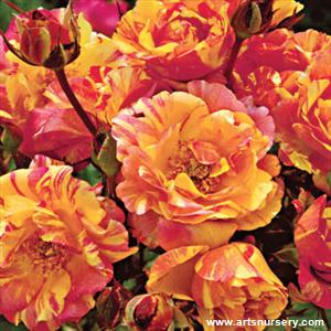 Rosa 'Citrus Splash'
