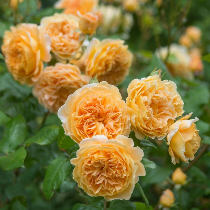 rosa_crownprincessmargareta.jpg