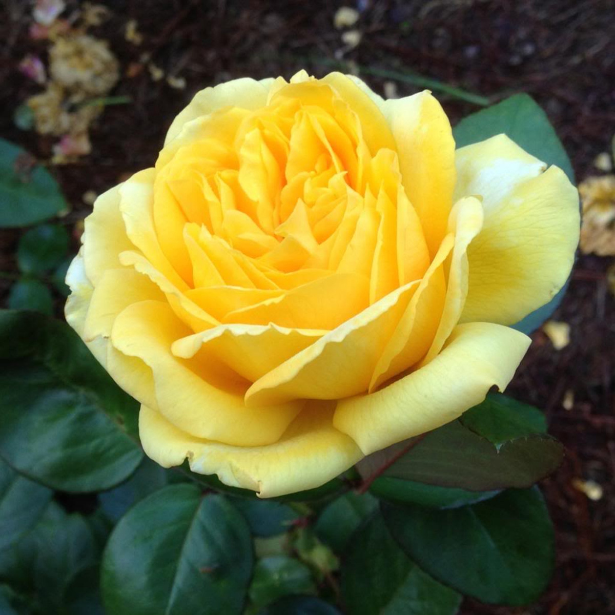 Rosa 'Eternal Flame'