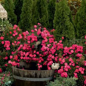 Rosa flower carpet pink supreme arts nursery ltd mightylinksfo