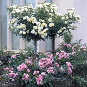Rosa flower carpet white tf arts nursery ltd mightylinksfo