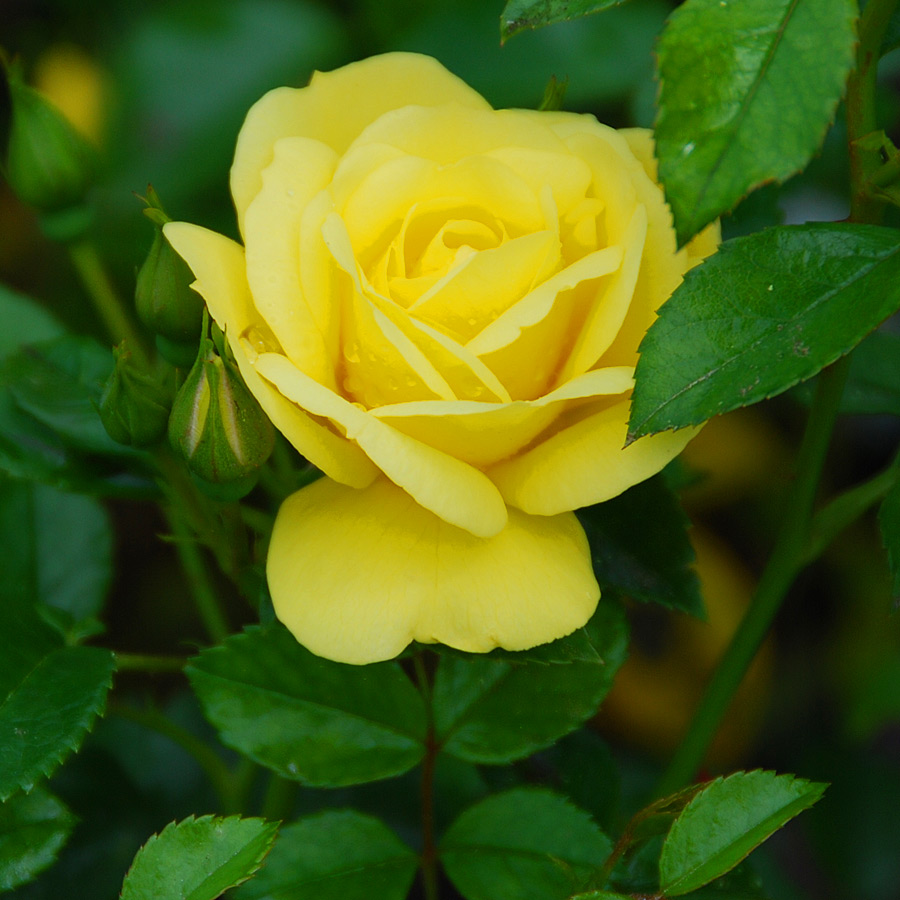 Rosa 'Flower Carpet Yellow'