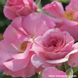 Rosa 'Kimberlina' -  Ultimate
