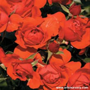 Rosa 'Light My Fire' -  Ultimate