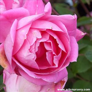 Rosa 'Knockout Pink Double'