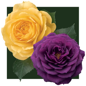 Rosa 'Julia Child' and 'Ebb Tide' TF