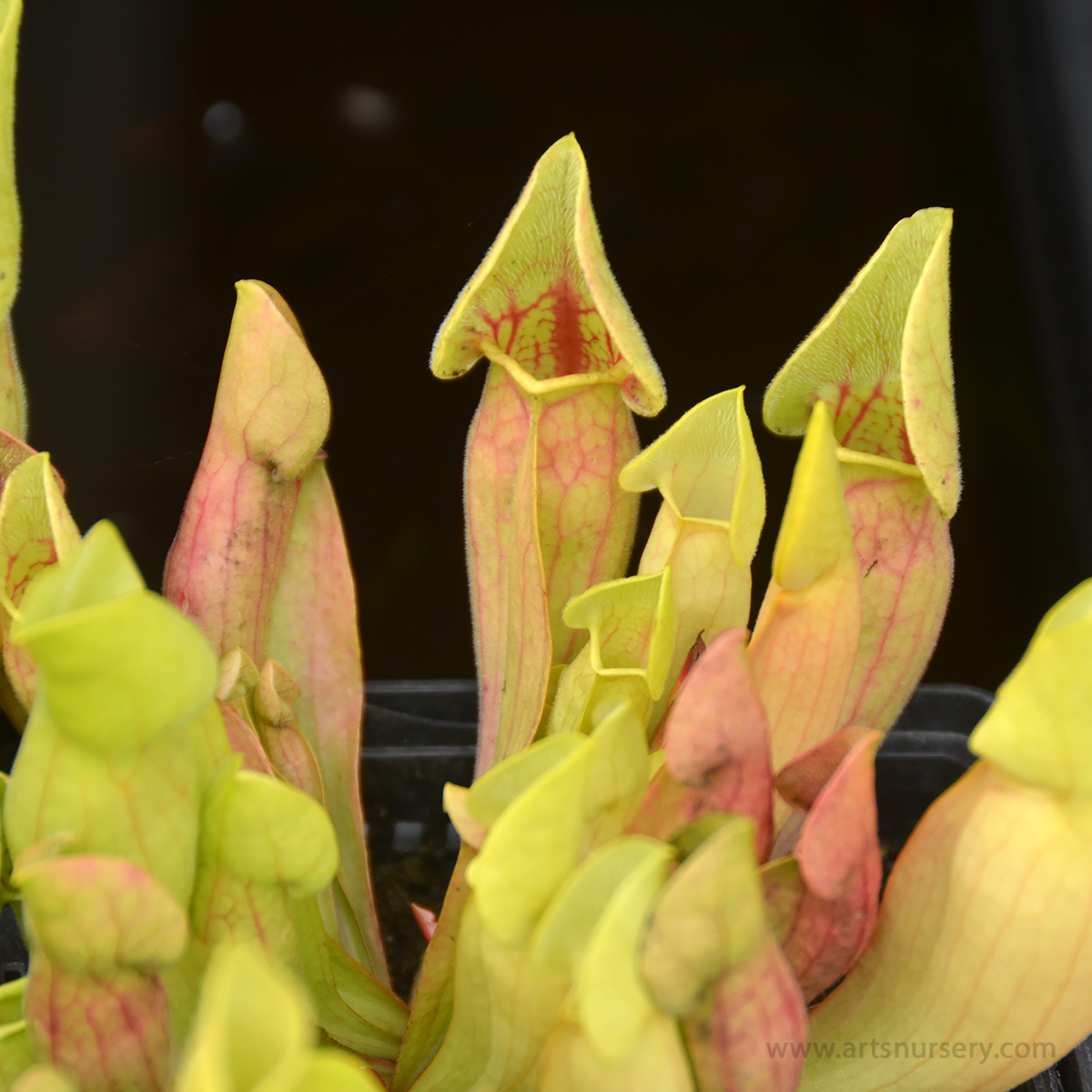 Sarracenia 'Carolina Yellow Jacket'