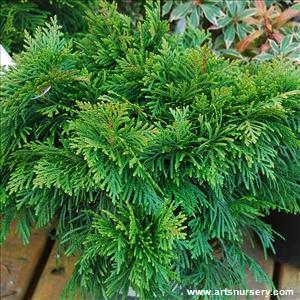 hedging cedars arborvitae art 39 s nursery ltd. Black Bedroom Furniture Sets. Home Design Ideas
