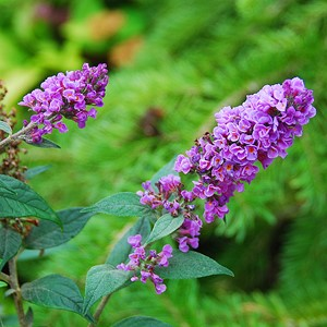 Buddleia_Bluechip.jpg