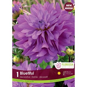 Dahlia_Blueriful.jpg
