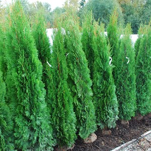 Thuja occidentalis 'Smarag (Emerald)'