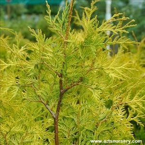 Thuja_occidentalis_YellowRibbon.jpg