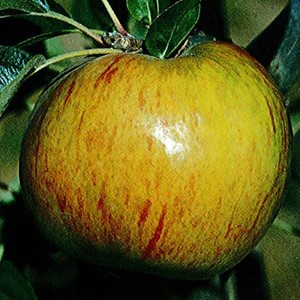 Apple 'Gravenstein'