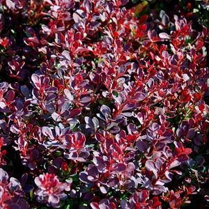 Berberis thunbergii 'Royal Burgundy'