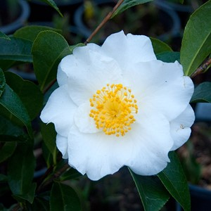 Camellia japonica 'Silver Waves'