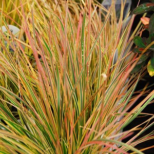 deschampsia_caespitosa_northernlights.jpg