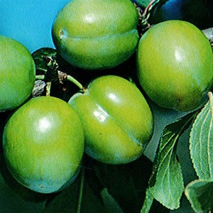 Plum 'Green Gage'