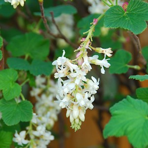 ribes_sanguineum_whiteicicle.jpg