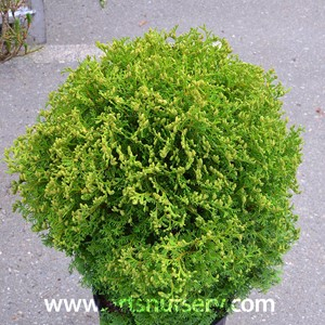 thuja_occidentalis_hetzsmidget (2).jpg