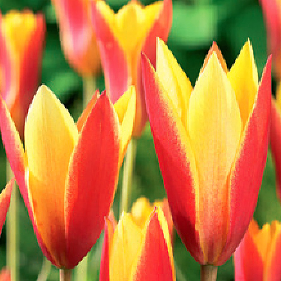 Tulipa 'Chrysantha' Bulbs