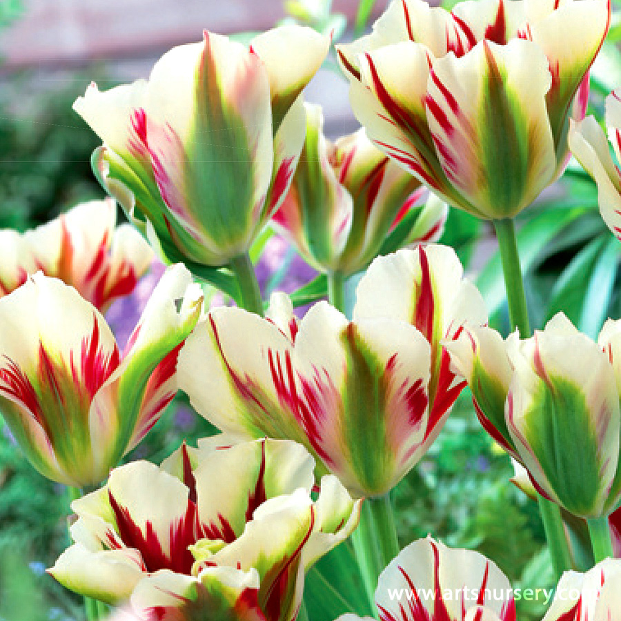 Tulipa 'Flaming Spring Green' Bulbs