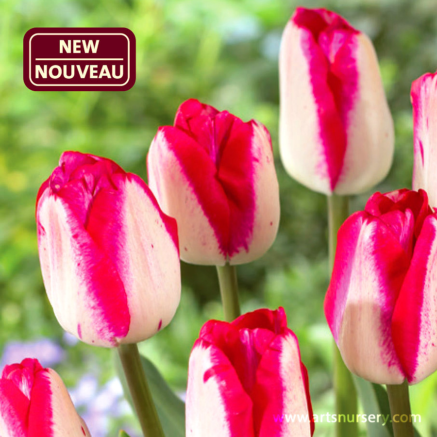 Tulipa 'Just Kissed' Bulbs