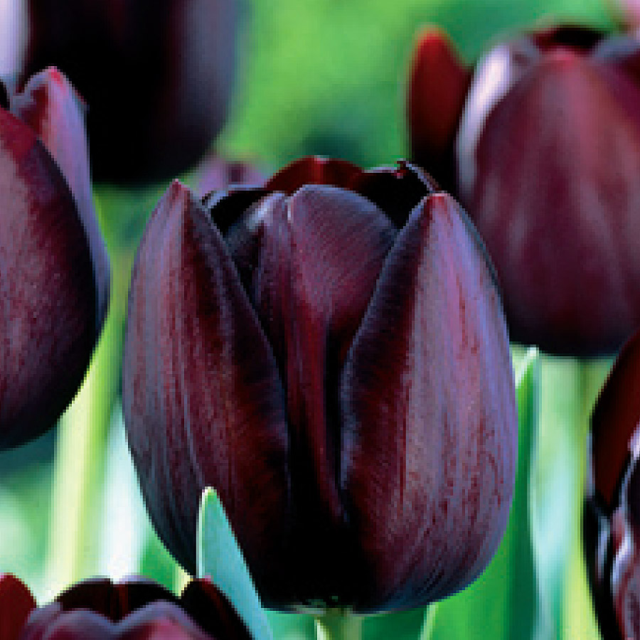 Tulipa 'Queen of the Night' Bulbs