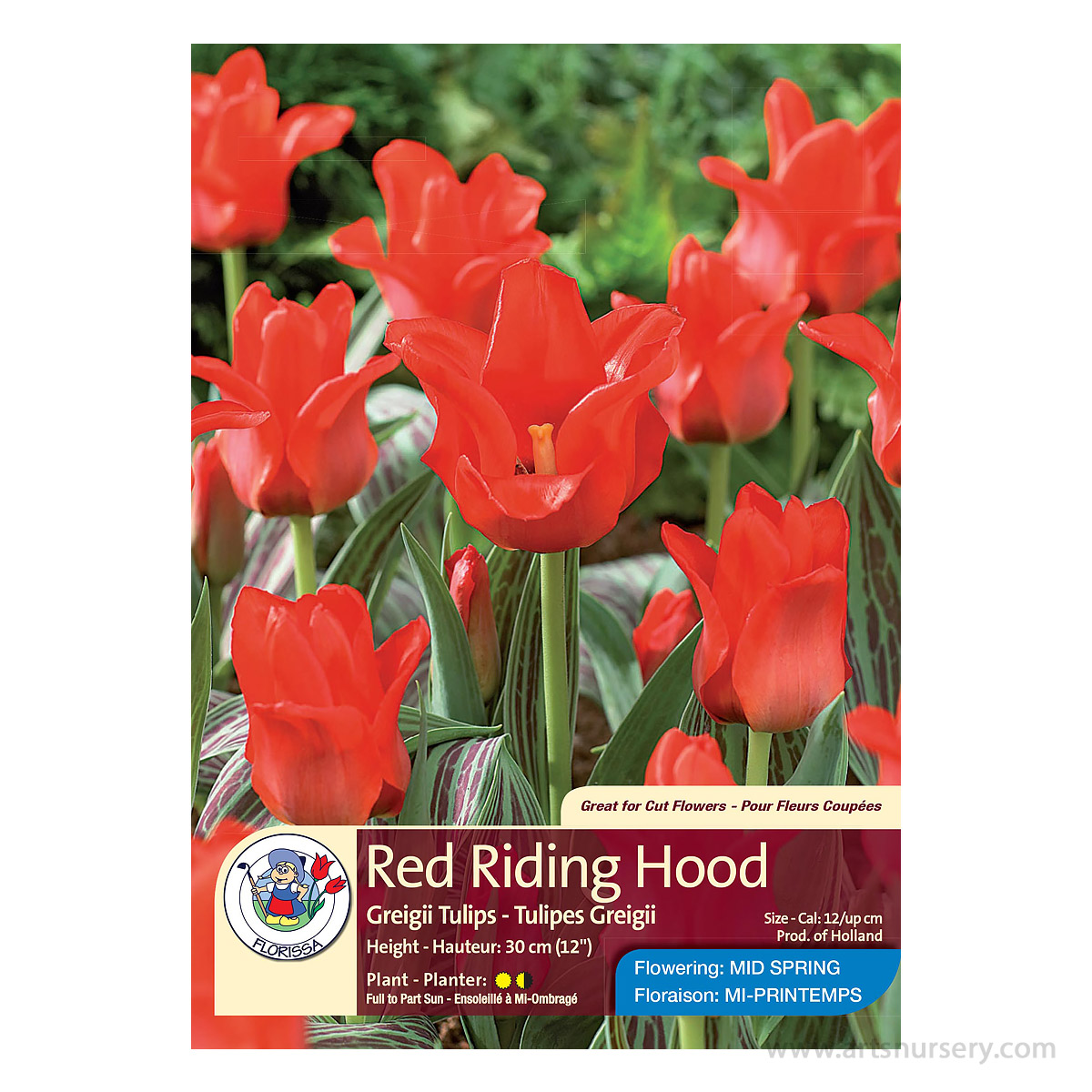 Tulipa 'Red Riding Hood' Bulbs
